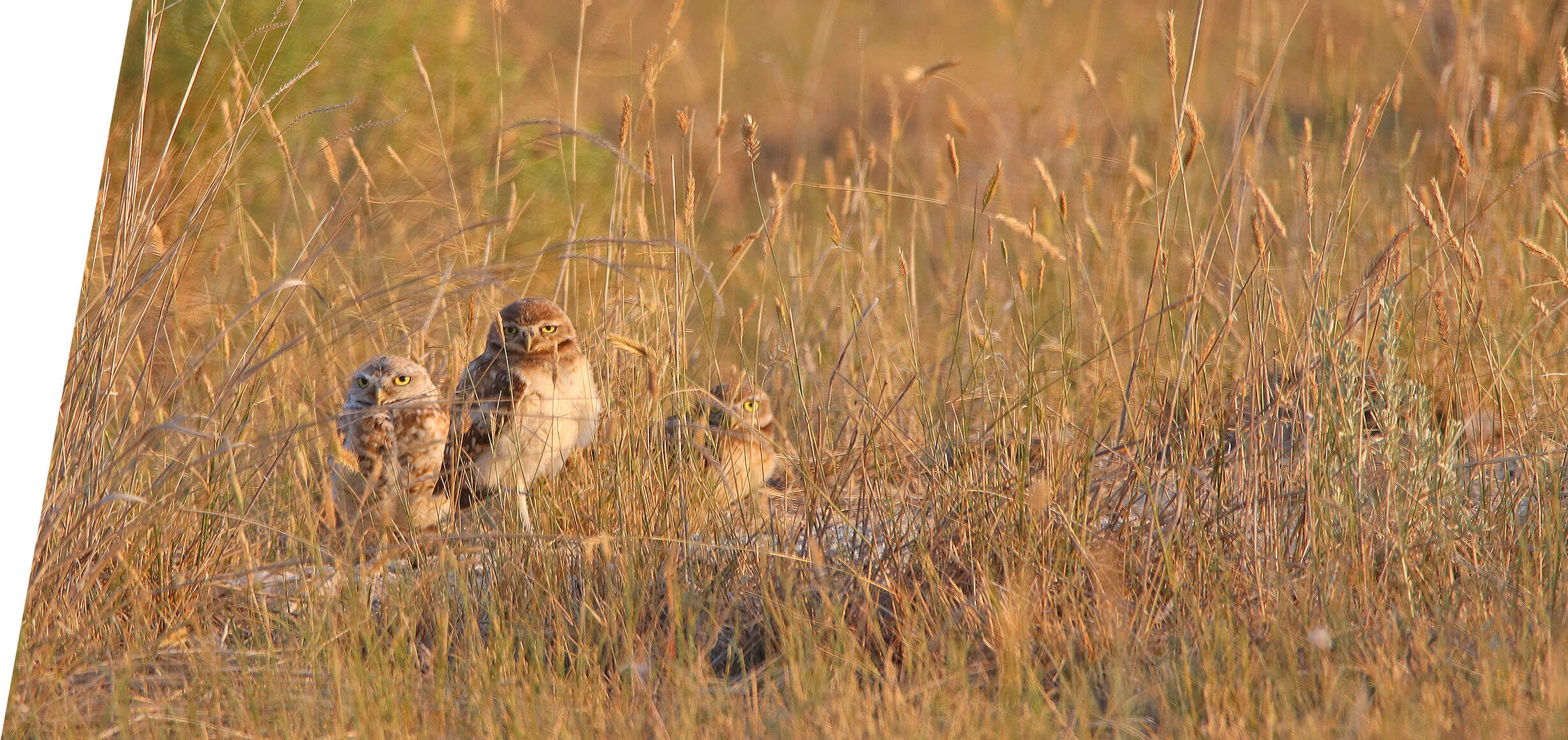 Idaho Burrowing Owls