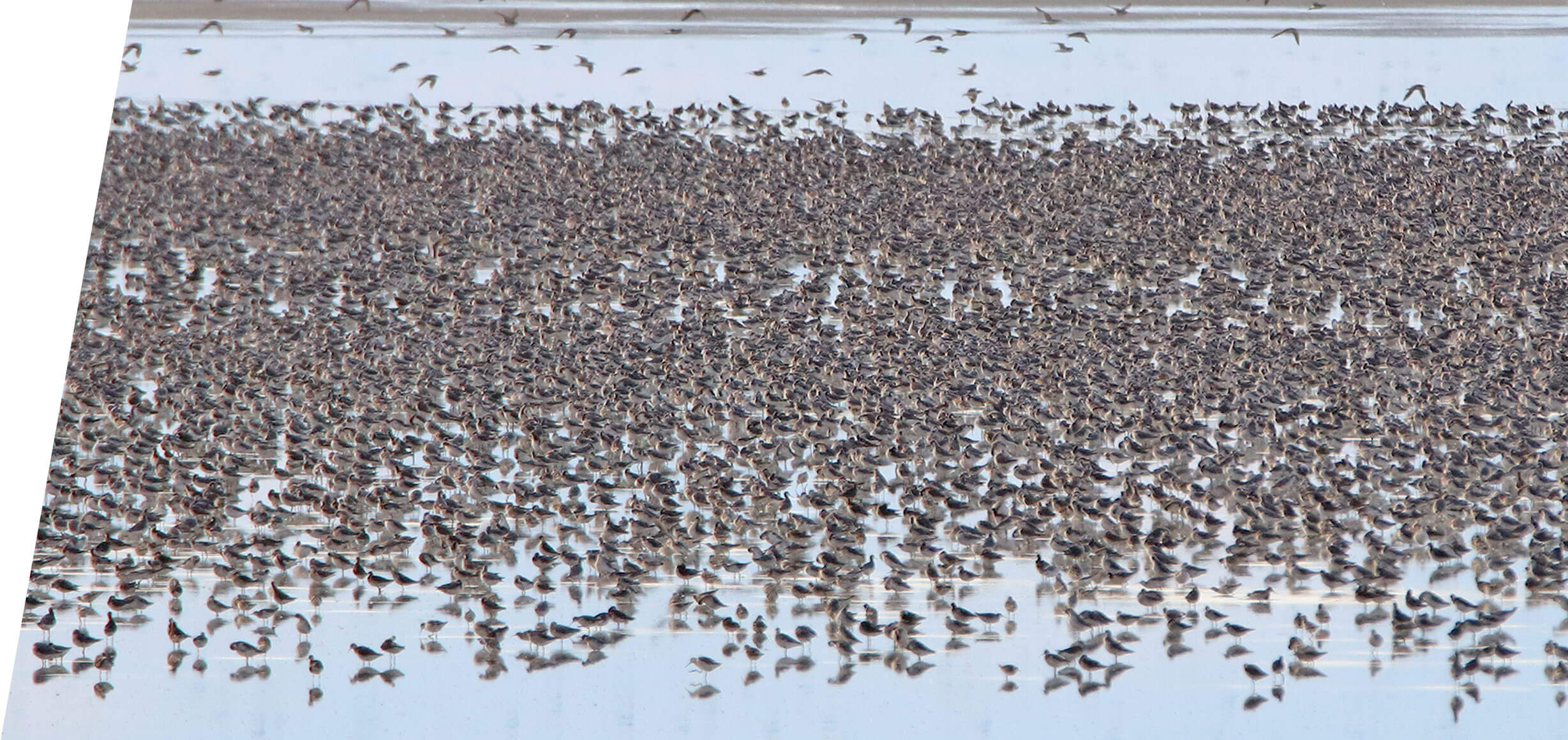 Wilson's and Red-necked Phalarope migration on the Great Salt Lake in 2018