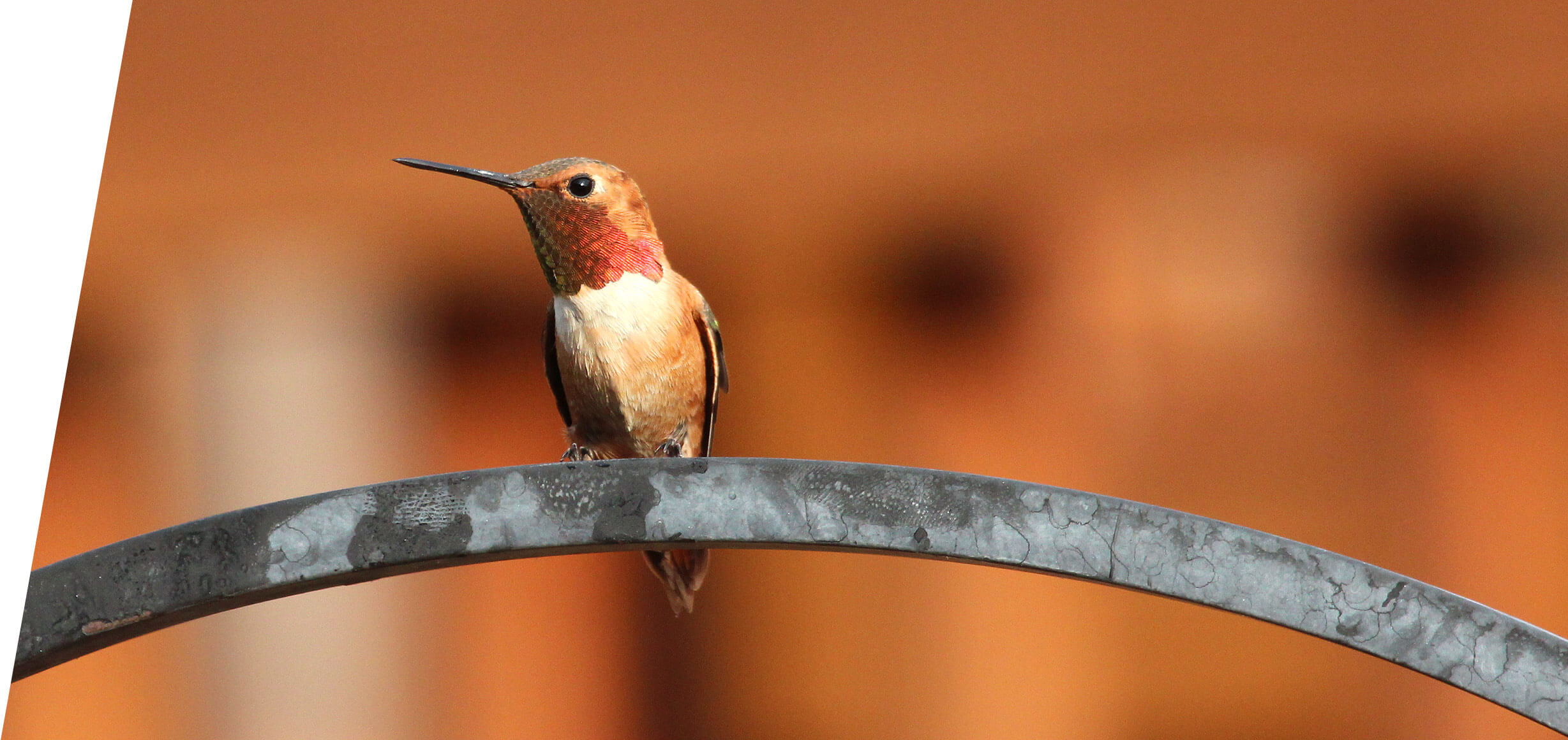 Wyoming Rufous Hummingbirds