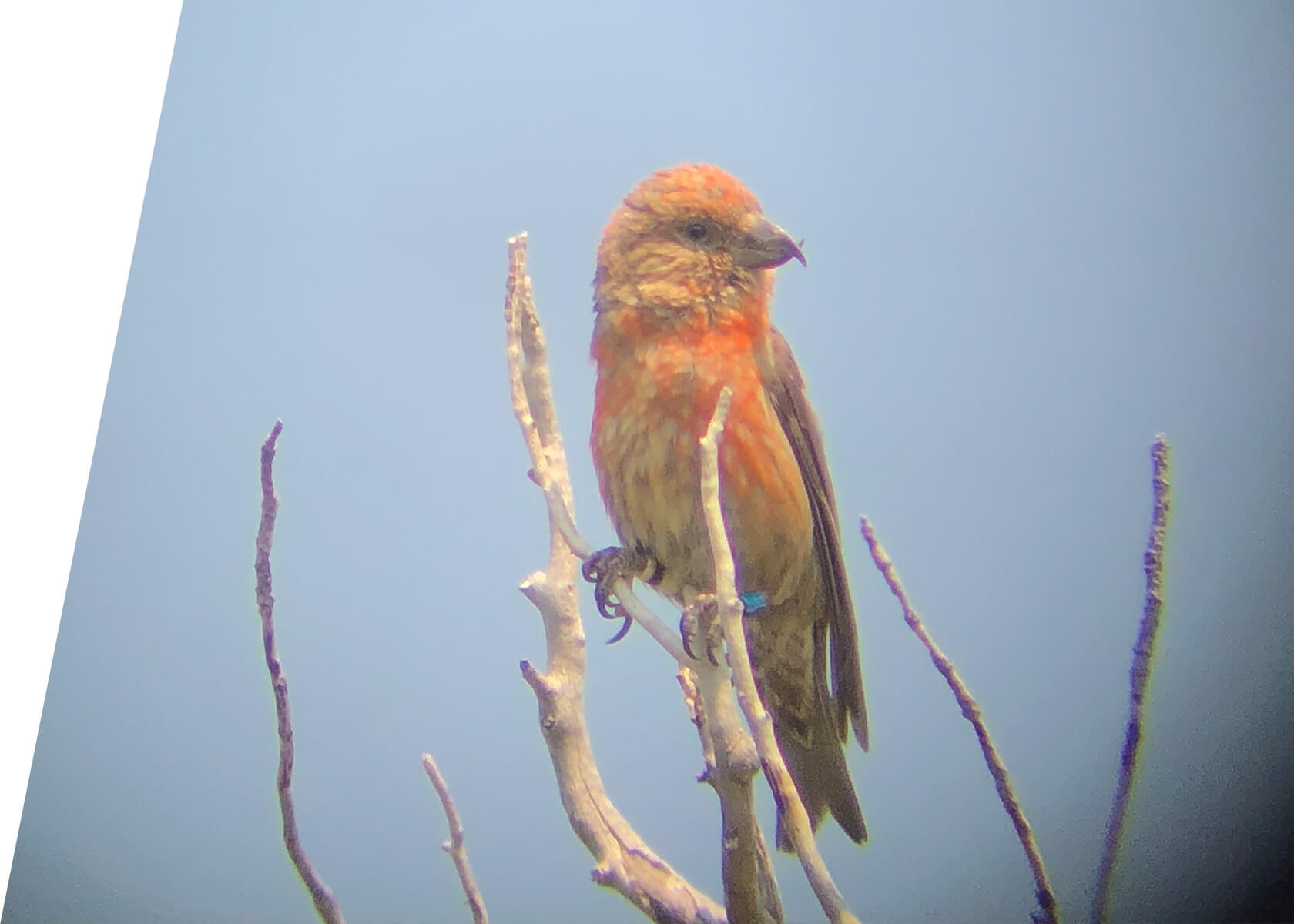 Cassia Crossbill in Idaho