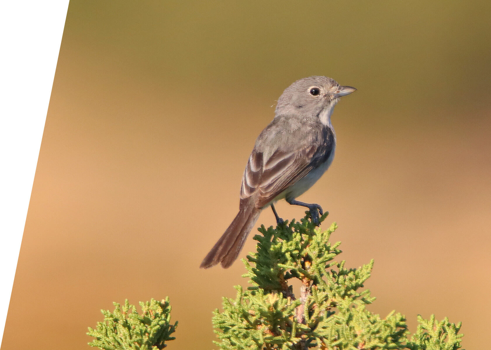 Gray Vireo in Utah